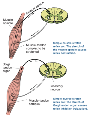 muscle spindle and golgi tendon orgon